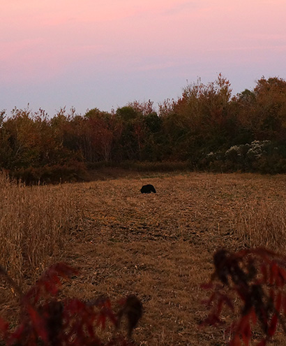 Black Bear at sunset